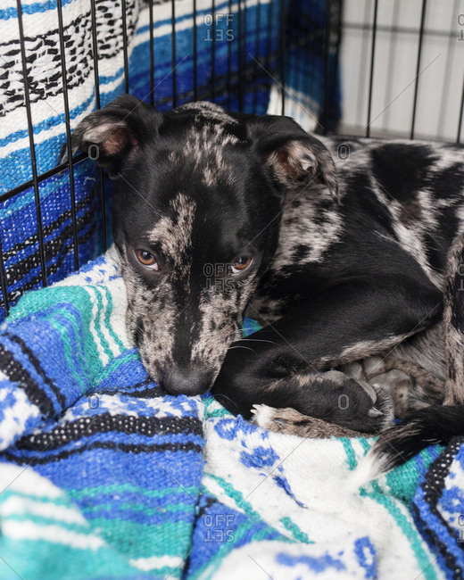 Terrier lying down in crate on a blanket