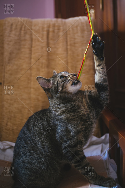 Tabby cat playing with string