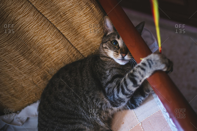 Tabby cat playing with a string