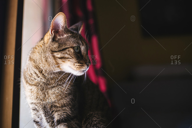 Tabby cat at a window