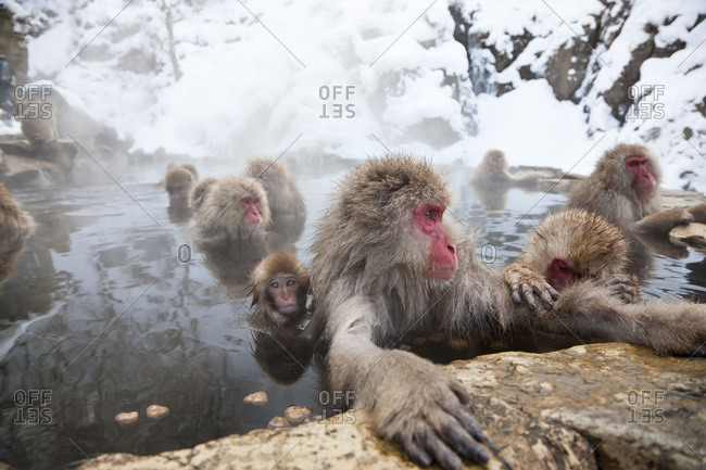 Japanese macaque (Macaca fuscata) or snow monkey, Joshin-etsu National Park, Honshu, Japan