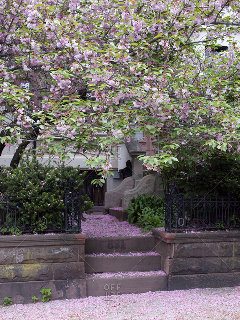 Blossoms on a tree in front of a Brooklyn brownstone