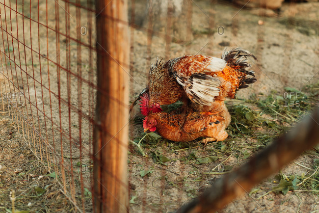 Rooster mating with a hen in a barnyard