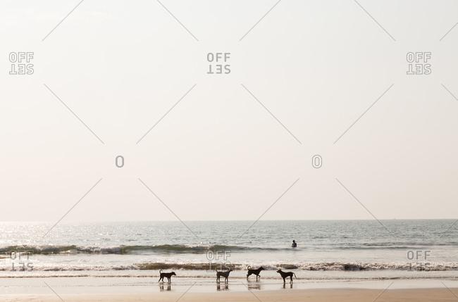 Dogs wandering around on the beach