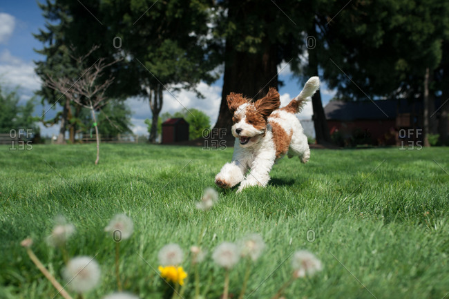 Labradoodle running in a grassy field