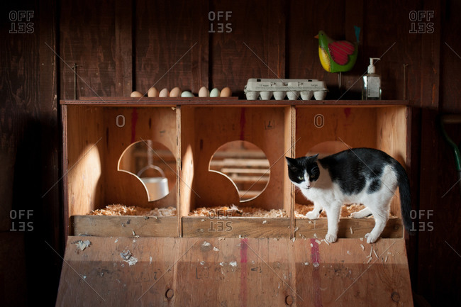 Cat standing on the edge of a wood hen house