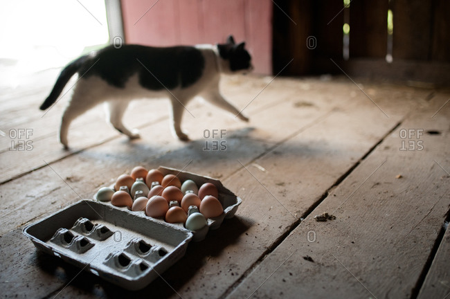 Cat walking past eggs in a hen house