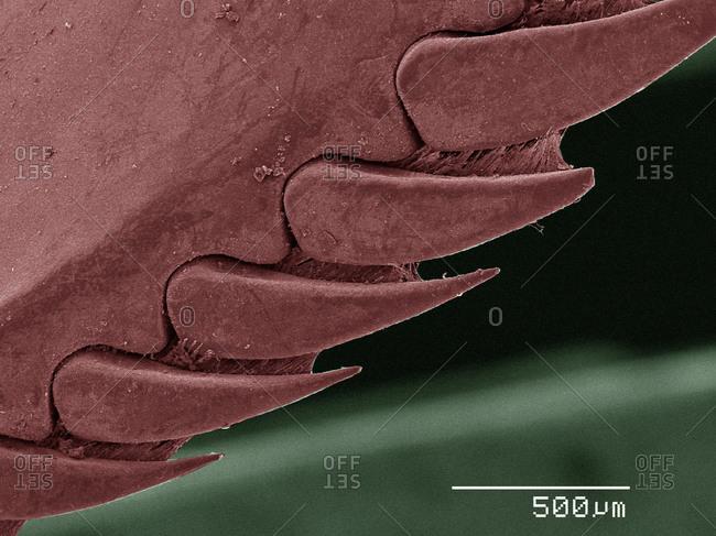 SEM of mantid shrimp spines