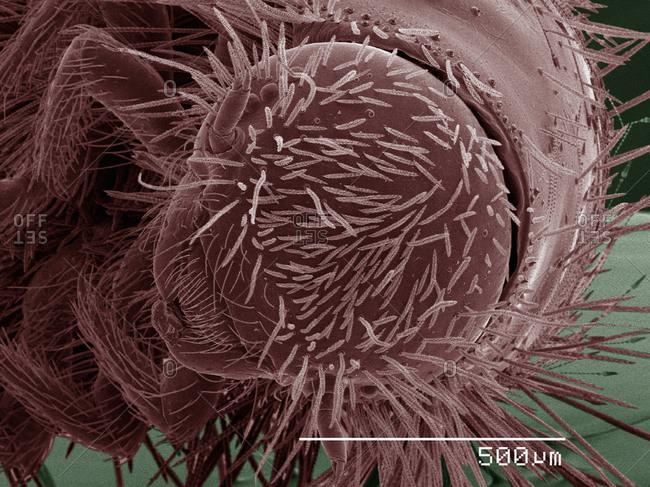 SEM of dermestid beetle larva