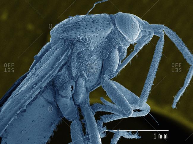 SEM of plant bug (Miridae)