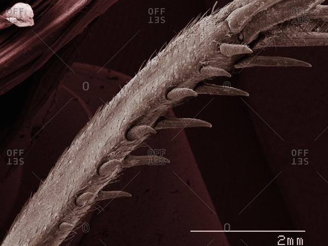 SEM of house cricket (Acheta domesticus) leg spurs