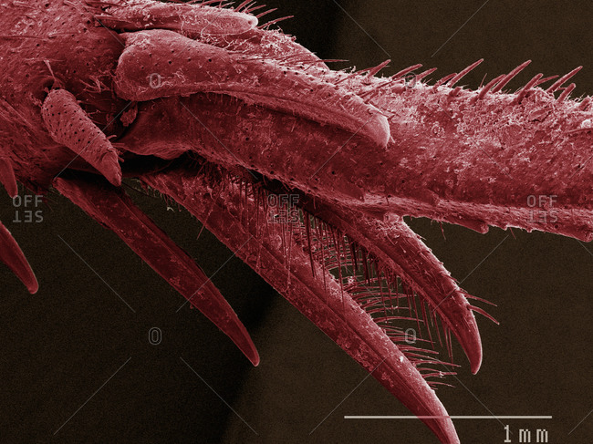 SEM of house cricket (Acheta domesticus) tarsus