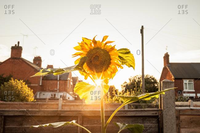 Garden sunflower garden at sunset