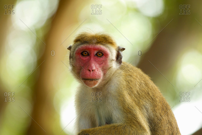 Portrait of an alert macaque monkey (Macaca sinica), Yala National Park, Sri Lanka, Asia