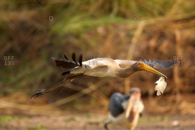 Juvenile Yellow-billed stork (Mycteria ibis) in Mana Pools National Park, Zimbabwe