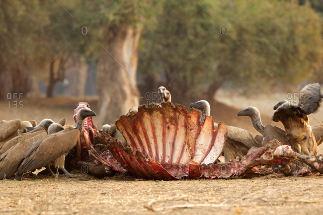 White backed vultures (Gyps africanus) on a buffalo carcass (Syncerus caffer)