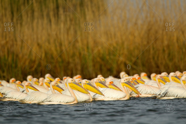 Great White Pelicans in a pond (Pelecanus onocrotalus), Danube Delta, Romania