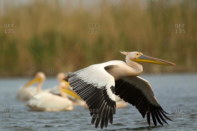 Great White Pelicans (Pelecanus onocrotalus), Danube Delta, Romania
