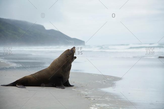 Solitary sea lion on a beach, New Zealand