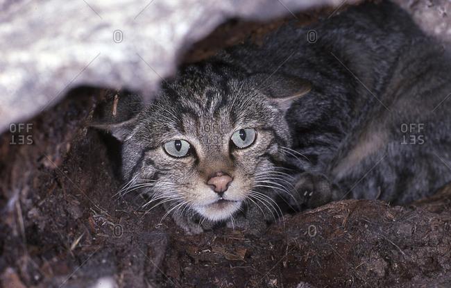 Wild cat - portrait Felis silvestris