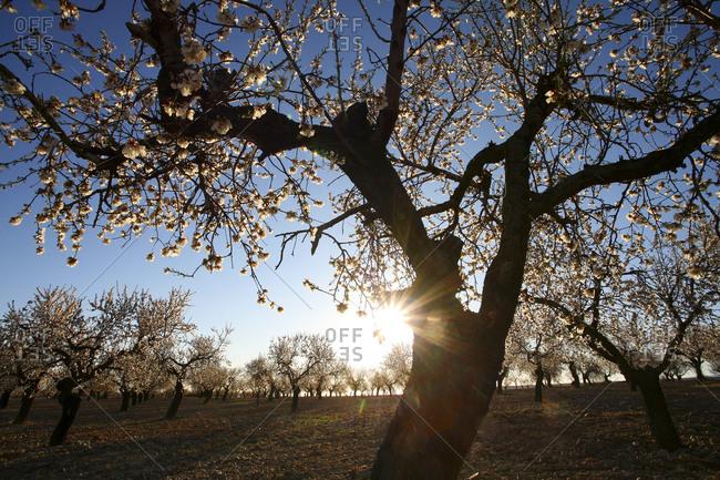 Almond blossom, springtime, La Rioja