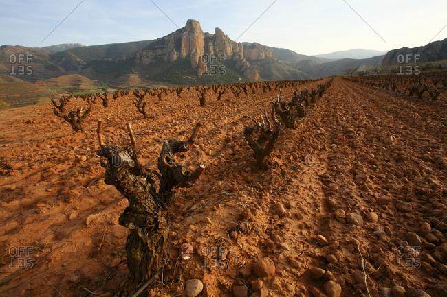 wine grape vineyard in finished season in the Cameros region