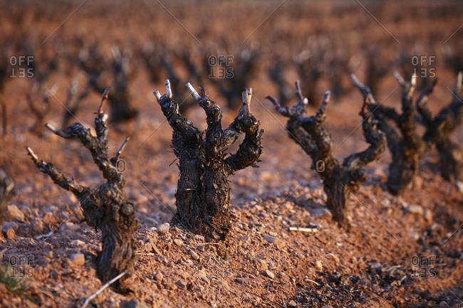 wine grape vineyard in finished season in the Cameros region La Rioja Spain