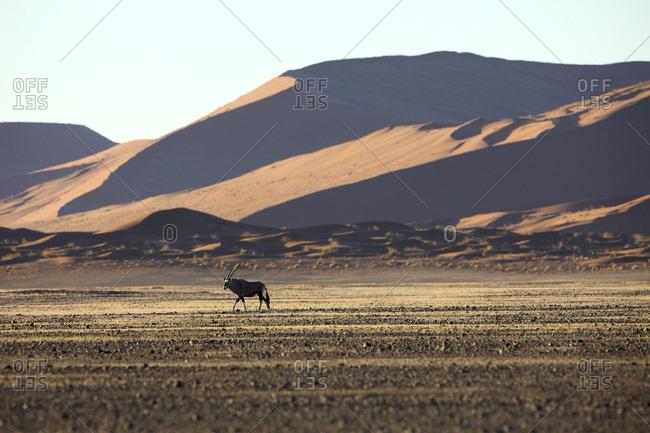 Gemsbok (Oryx gazella) In typical desert habitat Namibian desert