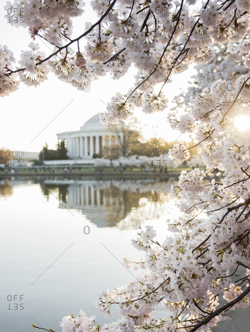The Jefferson Memorial framed by cherry blossoms