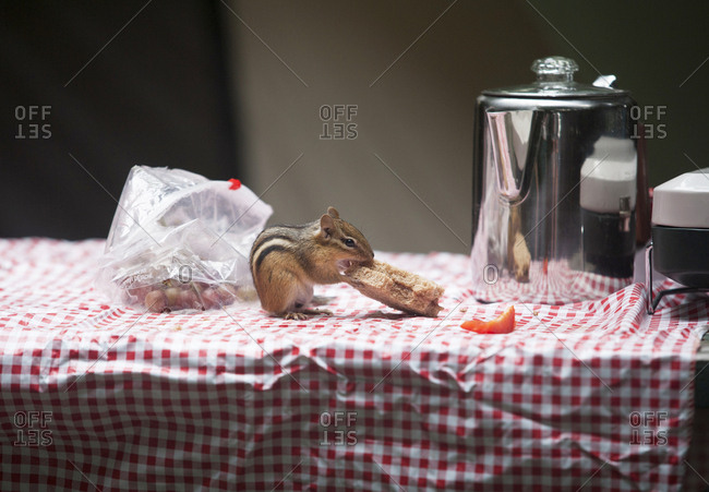 A chipmunk eats a picnic lunch at a remote campsite by Black Bear Cove on Aziscohos Lake in Lincoln Plantation, Maine