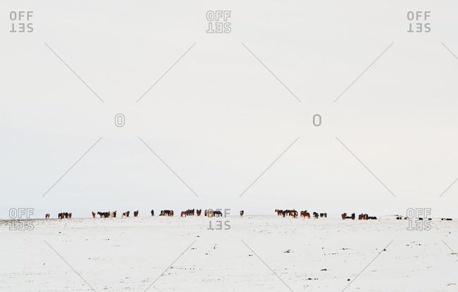 Herd of horses on snowy plain, Iceland