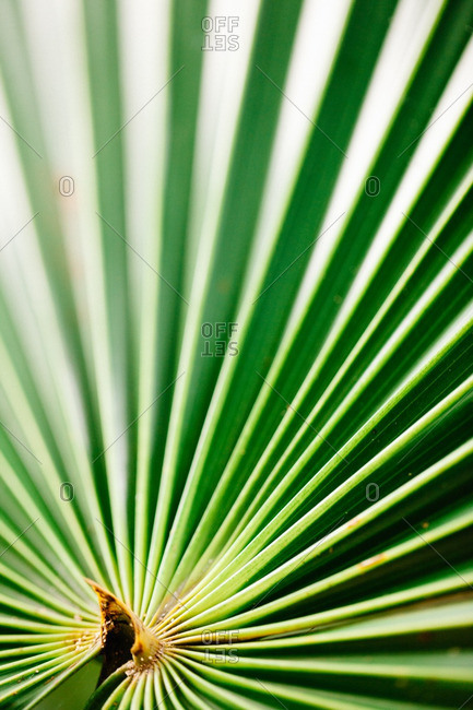 Close up of date palm leaves
