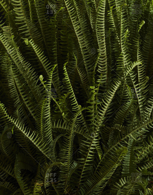 Background of green ferns