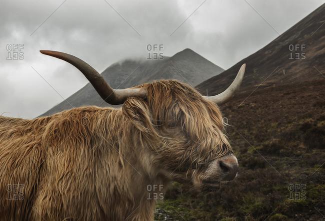 Highland cow in Glen Varragill