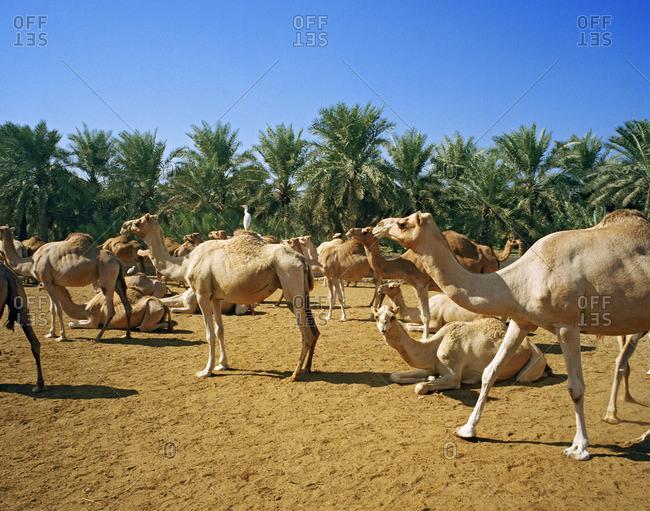 Camel farm for camel race