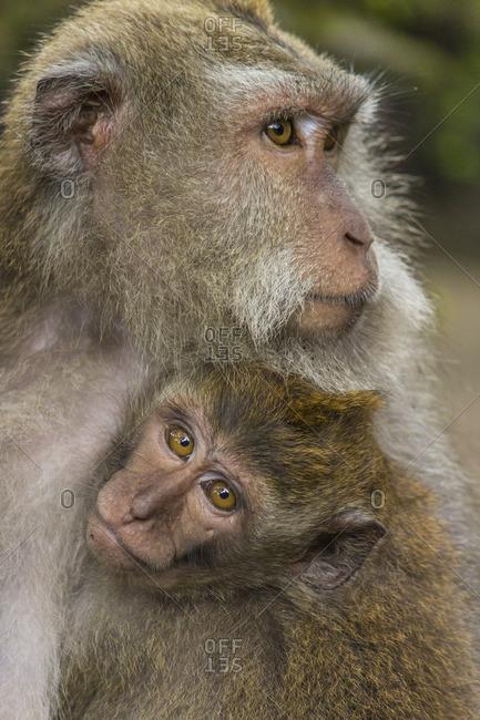 Monkeys at the Sacred Monkey Forest Sanctuary