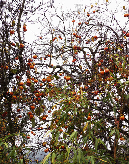 Fruit growing abundantly on trees