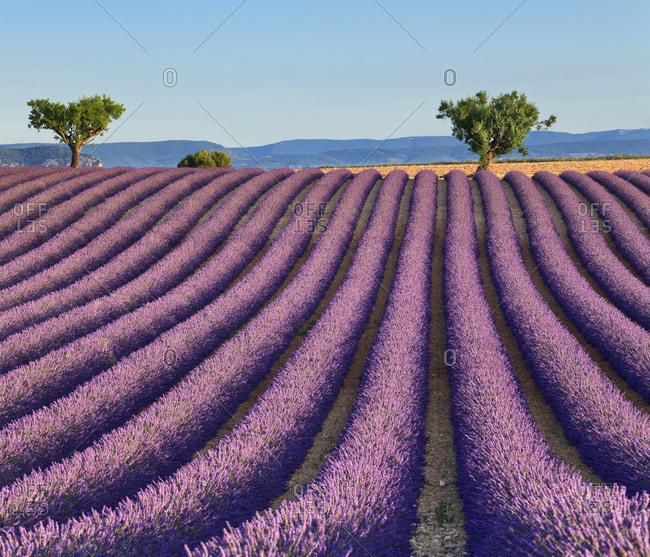 Lavender fields near Valensole - Offset