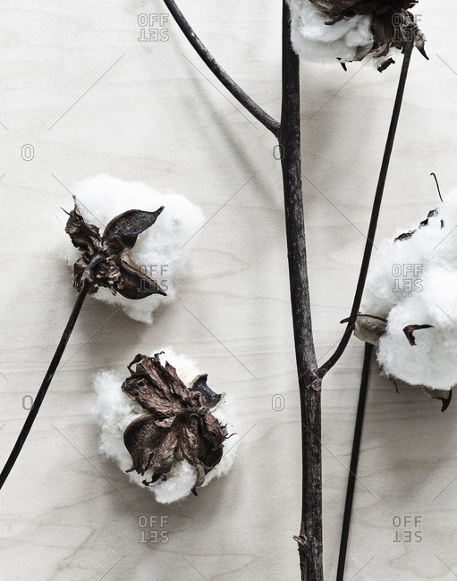 Cotton plant on wood background