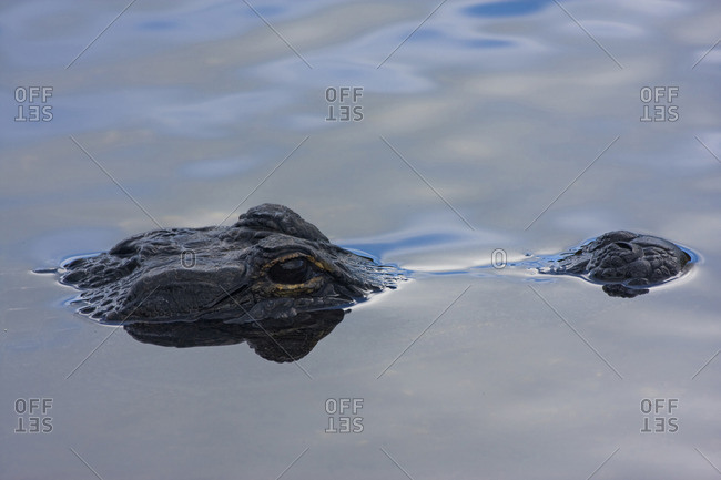 Alligator (Alligator mississippiensis) sticking its head out of the water