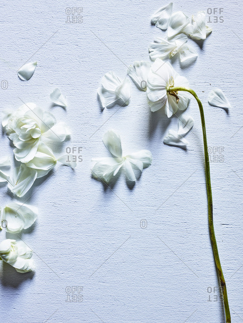 Scattered white flower petals