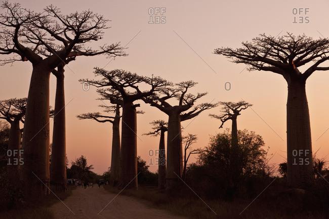 The famous Avenue de Baobab (Baobab Alley) near Morondava
