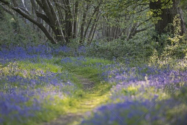 Bluebells, Hyacinthoides non-scripta in Thursford Wood, North Norfolk