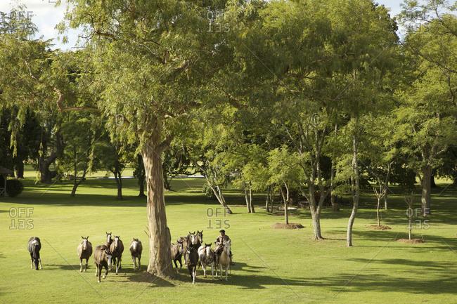 March 18, 2013: Group of horses under a tree on estancia in San Antonio de Areco, Argentina