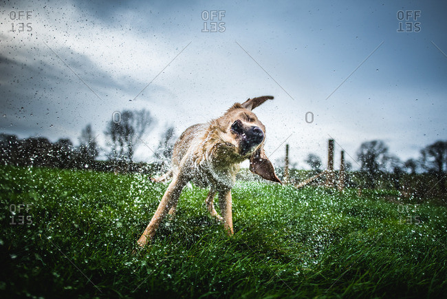 Yellow labrador standing in a field shaking off water