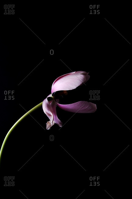 Pink flower on a black seamless background