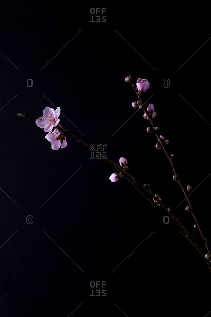 Pink flowers on a black seamless background