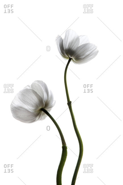 White flowers on a white seamless background
