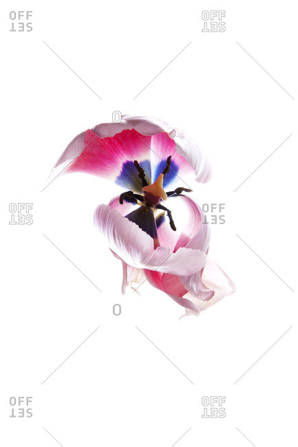 Pink flower on a white seamless background