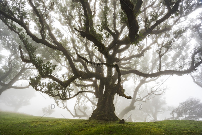 Ancient tree in a foggy forest in the Madeira Islands of Portugal
